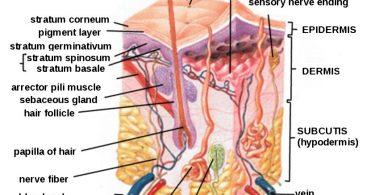 Human Skin Diagram